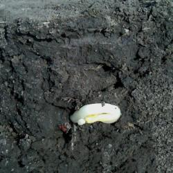 Stress Emergence in Corn